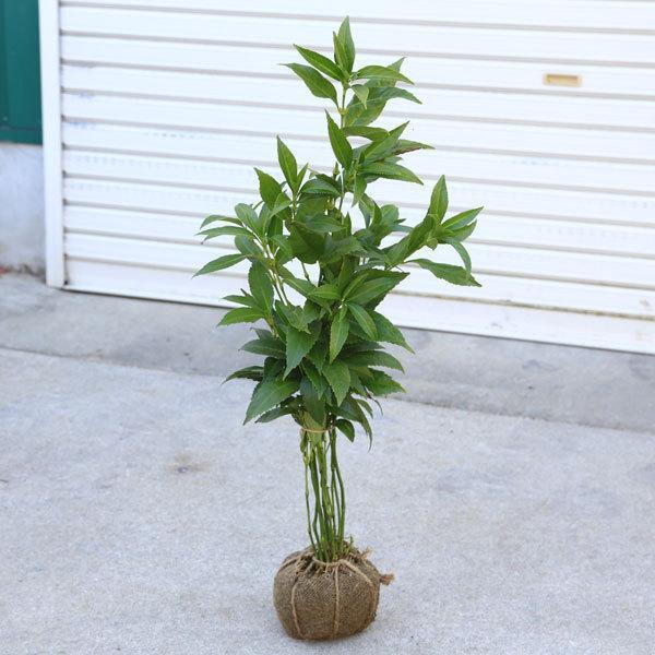 庭木 オープニング 大放出セール 植木 苗:千両 黄色 せんりょう 日本正規品 実はついていません