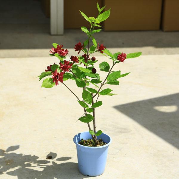 庭木 植木:カリカンサス 今ダケ送料無料 超特価SALE開催 ハートレッジワイン 黒花ロウバイ