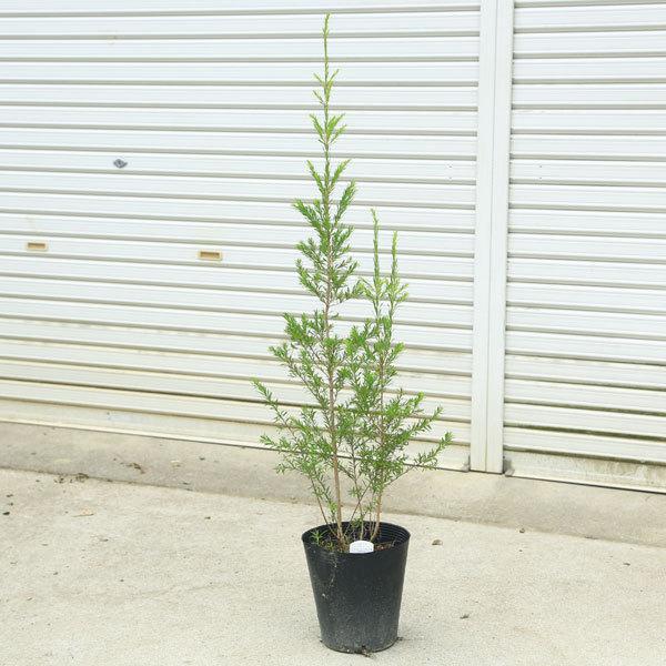 庭木 初回限定 観葉植物:メラレウカ ブラックティーツリー 激安 佐川急便 100cm