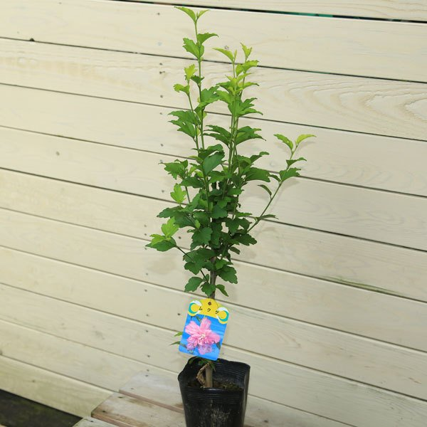 庭木 植木:ムクゲ 槿 佐川急便 ☆正規品新品未使用品 買い取り 品種をお選びください むくげ