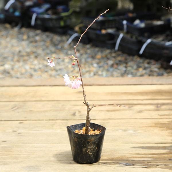 安い 苗:十月桜 直 公式ショップ
