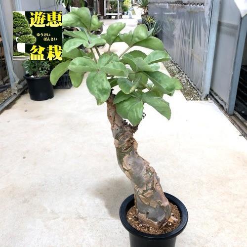 塊根植物:キフォステンマ ベティフォルメ*塊幅9cm 現品 一品限り
