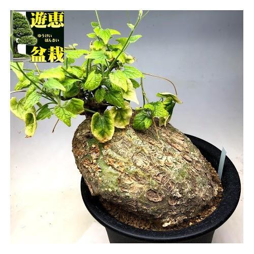 コーデックス:ジゴシキオス sp.nov.*塊幅18cm 現品!一品限り