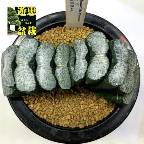 多肉植物:ハオルチア 玉扇 塚原氏実生A*幅10cm 現品!一品限り