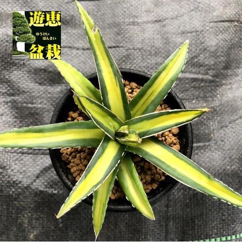 多肉植物:アガベ 笹の雪錦 黄中斑 幅10cm 格安 未使用品 S