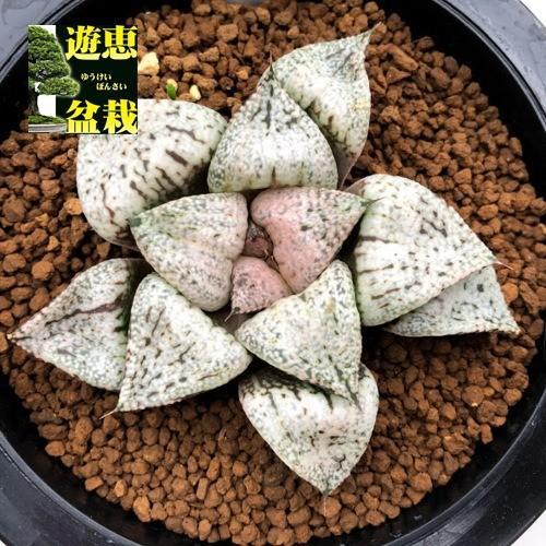 多肉植物:ハオルチア 関西系モザイクピクタ*幅8cm 現品!一品限り