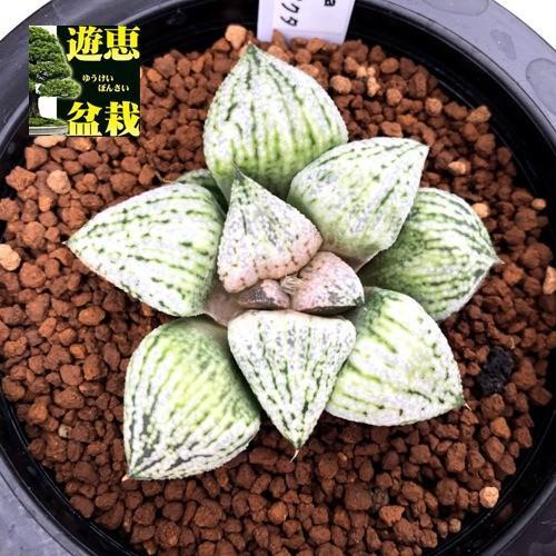 多肉植物:ハオルチア 関西系モザイクピクタ*幅6.5cm 現品!一品限り