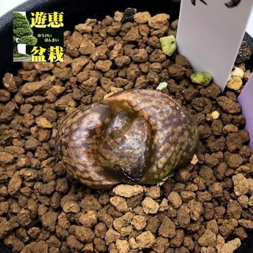 多肉植物:ハオルチア ピクタ モンスト*幅3cm 現品!一品限り
