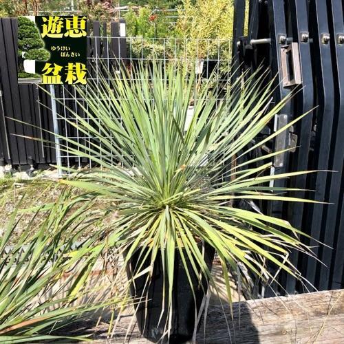 多肉植物:ユッカ ロストラータ*葉幅65cm 現品!一品限り
