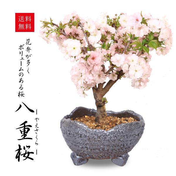 桜盆栽:八重桜(瀬戸焼鉢)* (2021年春開花予定) お花見 誕生日 祝 旭山桜 ギフト gift  プレゼント bonsai y-bonsai