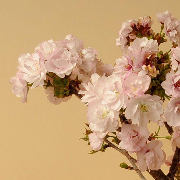 桜盆栽:八重桜(瀬戸焼鉢)* (2021年春開花予定) お花見 誕生日 祝 旭山桜 ギフト gift  プレゼント bonsai y-bonsai 02