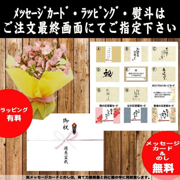 桜盆栽:八重桜(瀬戸焼鉢)* (2021年春開花予定) お花見 誕生日 祝 旭山桜 ギフト gift  プレゼント bonsai y-bonsai 04