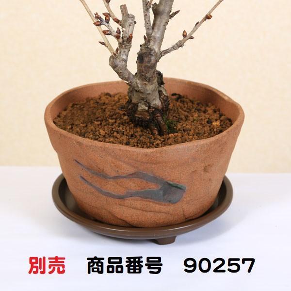 桜盆栽:八重桜(瀬戸焼鉢)* (2021年春開花予定) お花見 誕生日 祝 旭山桜 ギフト gift  プレゼント bonsai y-bonsai 05