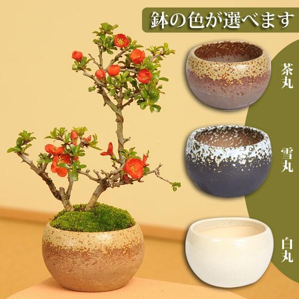 敬老の日ギフトにも小品盆栽:長寿梅 瀬戸焼小鉢 鉢が選べる祝い 縁起 gift 限定特価 御祝 鉢花 鉢植えプレゼント 新品 送料無料 誕生日祝 bonsai