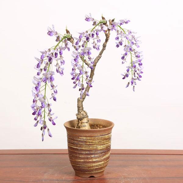 商品追加値下げ在庫復活 盆栽:一才藤 小 萬古焼深鉢 2021年春開花終了 bonsai 祝開店大放出セール開催中
