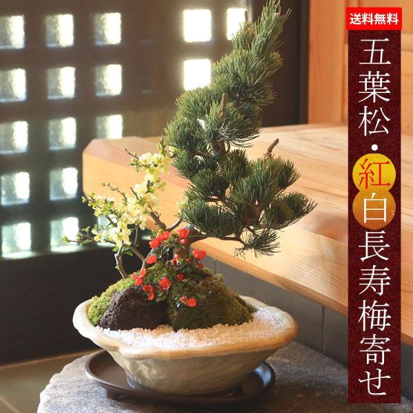 敬老の日ギフトにも盆栽:五葉松 紅白長寿梅寄せ植え 瀬戸焼変形白釉鉢 鉢植え レビューを書けば送料当店負担 縁起 祝い 御祝 プレゼント 誕生日祝 開店祝 bonsai 在庫あり
