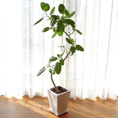 指宿市 ふるさと納税 観葉植物 フィカス·ベンガレンシス 8号陶器鉢(専用受け皿付き)
