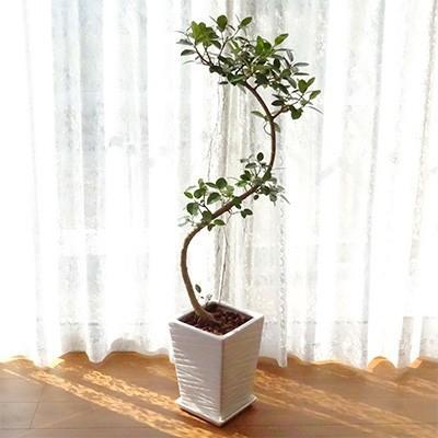指宿市 ふるさと納税 観葉植物 フランスゴム 8号陶器鉢(専用受け皿付き)