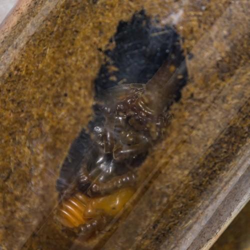 販売再開!国産滅菌済カブトムシ育成竹粉マット5L こばやしひろし名人のインセクトソイル  昆虫マット コバヤシ産業|yabulovewalker|05