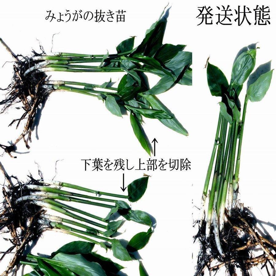栽培 みょうが ミョウガの栽培方法・育て方【発芽しない‥冬はどうする? 基本の栽培技術で解決!】