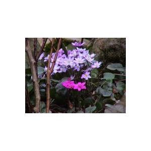 花 苗 山野草:雪割草 ユキワリソウ ポット苗 花色はミックスです(赤・ピンク・紫・白)|yamashichi