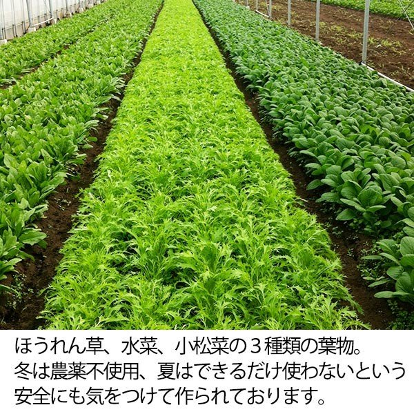福じいさんの野菜【小松菜】宮崎県綾町産小松菜 150g*7袋 yao800 03