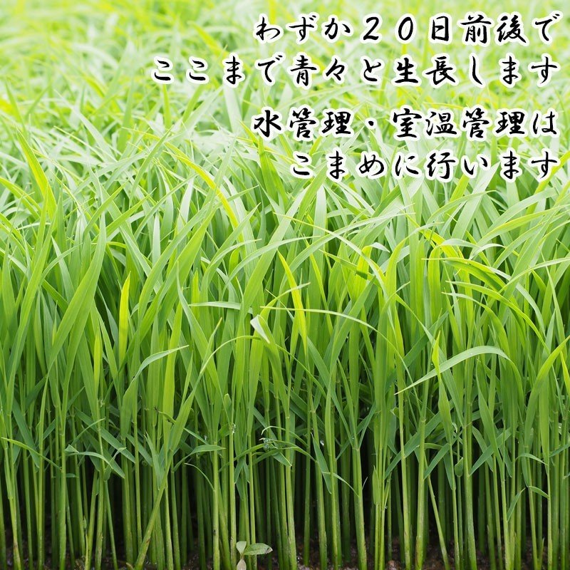 新米 令和2年産 ひとめぼれ 玄米 5kg 特別栽培米 山形県産 庄内産 農家直送 米 お米|yogorou|04