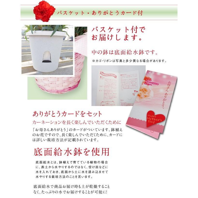 母の日 ギフト プレゼント ピンク カーネーション  バンビーノ バルーンピックつき 送料無料|yonezawaengei|02