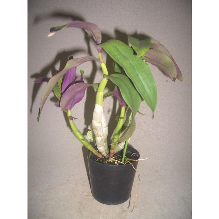 洋蘭苗 Den.capituliflorum デンドロビウム、カピツリフローラム|youranhanaitiba|02