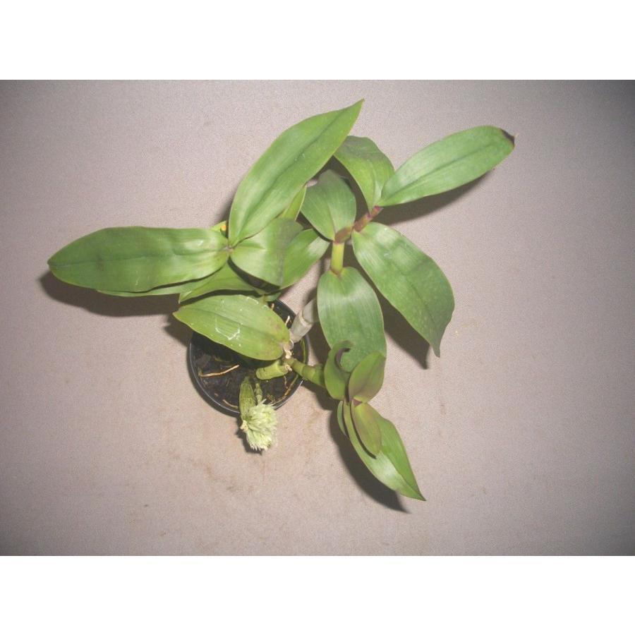 洋蘭苗 Den.capituliflorum デンドロビウム、カピツリフローラム|youranhanaitiba|03