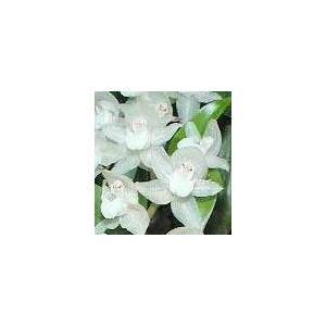 Pholidota. chinensis ポリドータ、チネンシス youranhanaitiba 02