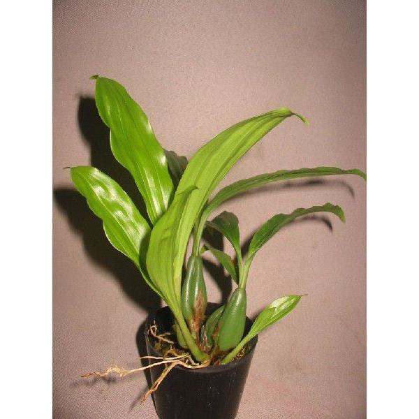 Pholidota. chinensis ポリドータ、チネンシス youranhanaitiba 03