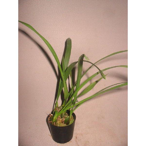 洋蘭苗 Maxillaria.porphyrostele マキシラリア.ポルフィロステレ youranhanaitiba 02