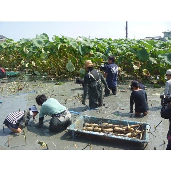 国産 ハスの葉茶 「蓮茶ん」 2.5g × 10パック入り 佐賀県産 yuru-yakuzen 04