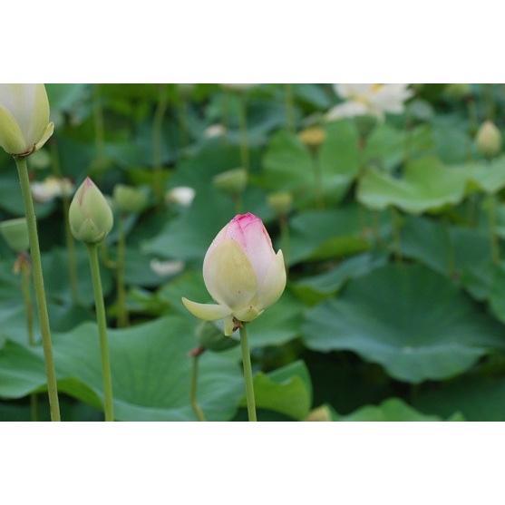 国産 ハスの葉茶 「蓮茶ん」 2.5g × 10パック入り 佐賀県産 yuru-yakuzen 05