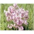 「ラベンダー ミスキャサリン」は、最も濃いライラックピンクのしっかりした花穂をたくさんつけます。 ...