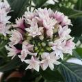 可憐な八重咲きのペンタスです。愛らしい星型の小花を多数つけ、秋まで長くお花をお楽しみいただけます。暑...