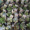 カラフルな多肉植物の寄せ植えポット。品種アソートでお届けします。1つのポットに4〜5品種が植えこまれ...