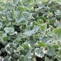 グランドカバーに最適な強健な植物です。つるが伸びるように広がりますので、どんな花とも合います。寄せ植...