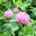 【種子】アカクローバー 500g カネコ種苗