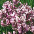 ラベンダー(ミスキャサリン)は香りのよいイングリッシュラベンダー系品種です。濃いライラックピンクの花...