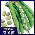 商品情報 真っ直ぐでとても長い莢の中には、7〜8粒の豆が入り、 着莢性も良く、収量性高い!!霜に強く...
