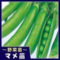 商品情報 「フルーツエンドウ」とも称されるほど甘味強く美味! 草勢旺盛で、実はボリューム満点!豆ごは...