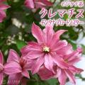 珍しいライラックローズ色の花弁を持つ八重、半八重、一重咲きクレマチスです。 花を無数に咲かせ、花付き...