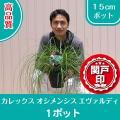 本品種は、コンテナー、寄せ植え又は、花壇でのグラス植物のような使い方ができる植物です。 はっきりとし...