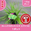 本品種は、コンテナー、寄せ植え又は、花壇でのグラス植物のような使い方ができる植物です。 強健な株はグ...