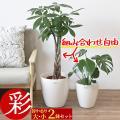 観葉植物 大型 8号+6...