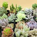 多肉植物 10ポットアソート寄せ植え苗 10種類の多肉植物をおまかせのお届けになります。 ブロンズ姫...