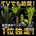 観葉植物 インテリア ...