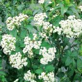 春には白い集合花が樹冠を覆い、秋の実は青紫で濃い緑の葉とのコントラストが美しい。刈込みにも耐えるので...